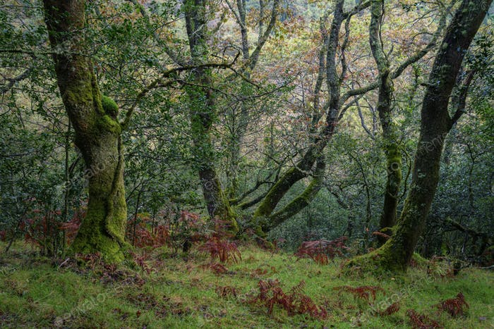A forest of ancient oaks