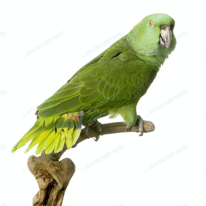 Yellow-naped amazon - Amazona auropalliata