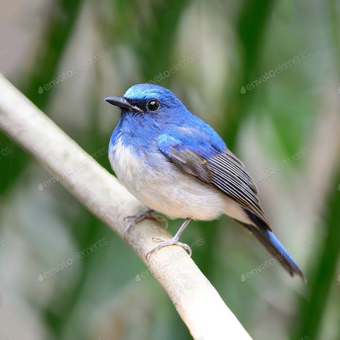 male Hainan Blue Flycatcher
