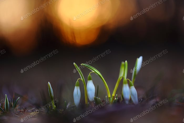 Snowdrops growing from the earth in springtime nature