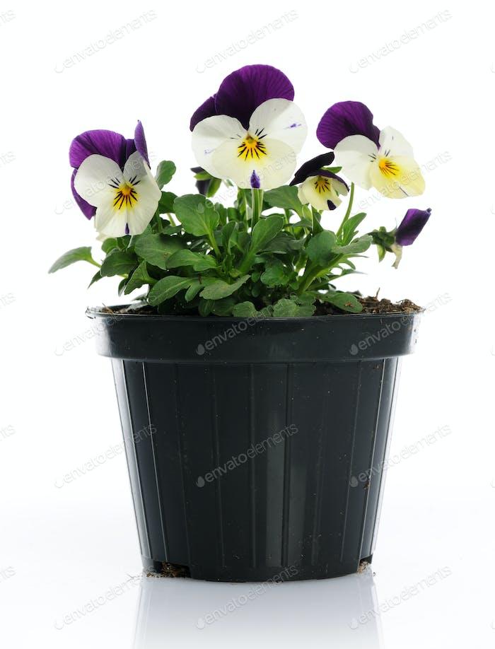 Pot with pansies