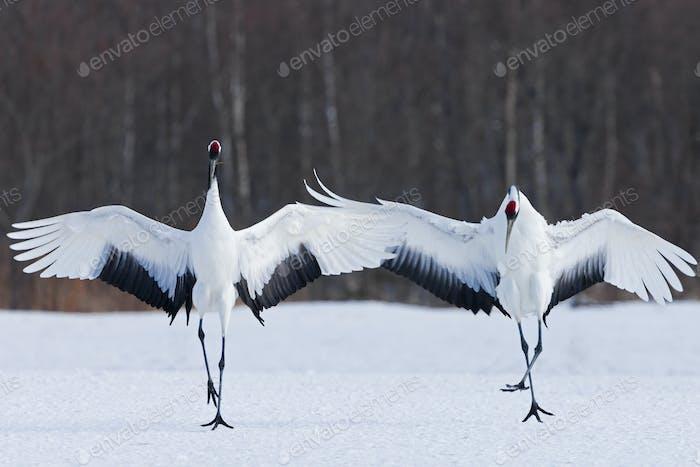 Japanische Kraniche aufrecht, die ihre Flügel ausbreiten und auf einem gefrorenen See in Hokkaido, Japan