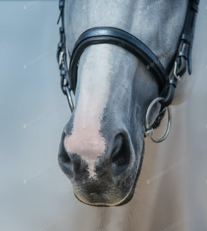 Muzzle of Grey Horse with white Mark close up