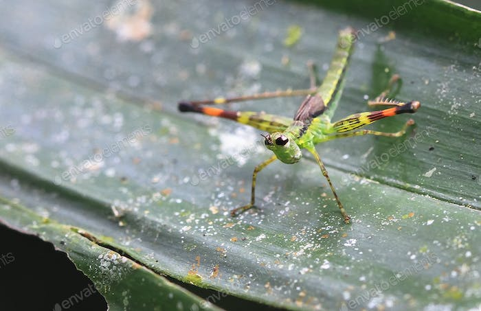 Monkey Grasshopper on a Leaf in Costa Rica