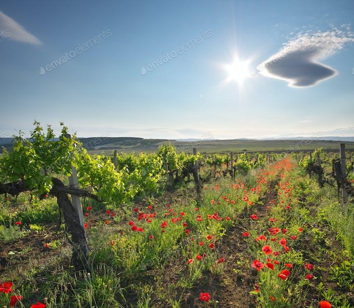 Landscape of vineyard.