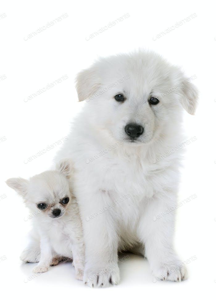 puppy White Swiss Shepherd Dog and puppy chihuahua