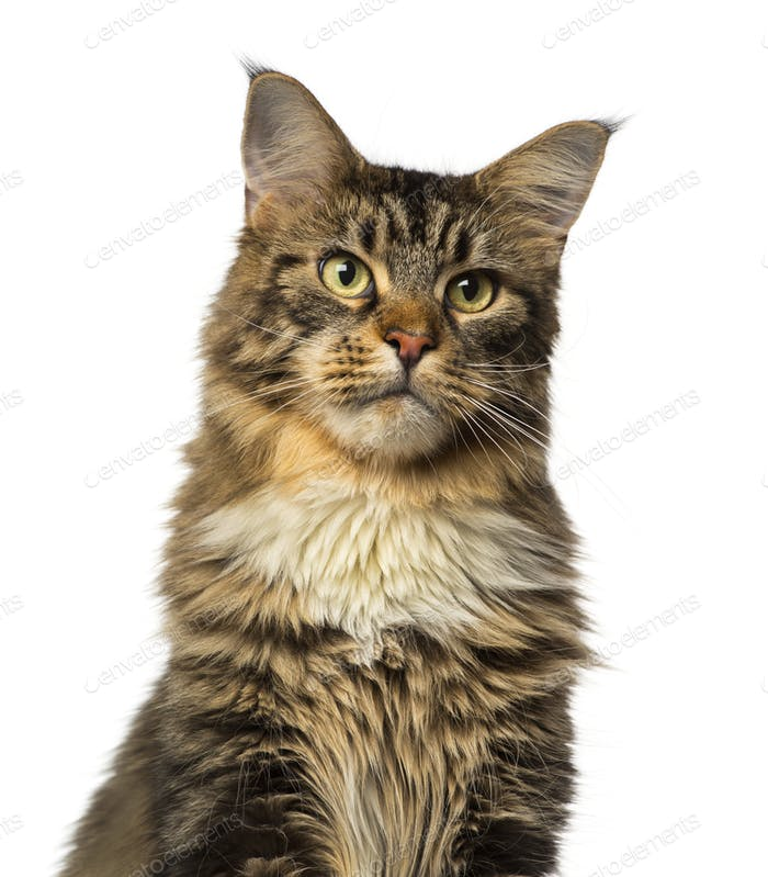 Close-up of a Maine Coon looking away