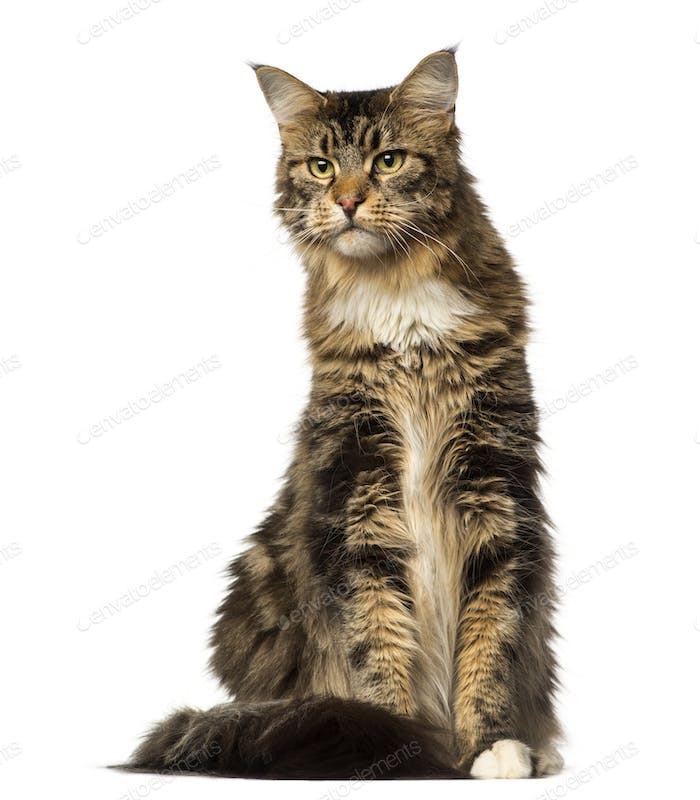 Maine Coon sitting and looking away