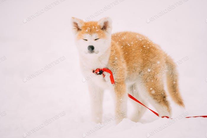 Welpe von Akita Hund oder Akita Inu, Japanisch Akita stehend im Schnee