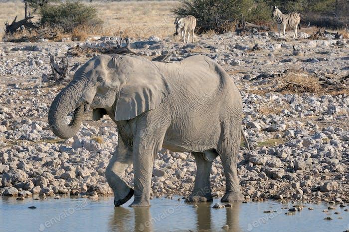 Elephant and zebras