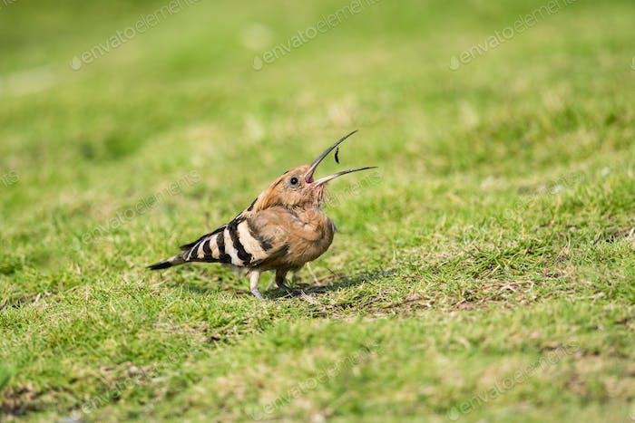 eurasische Wiedehopf essen Insekt