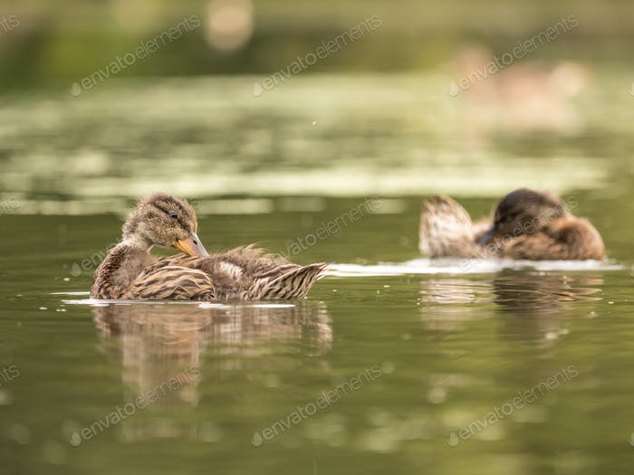 Wild ducks at a pond