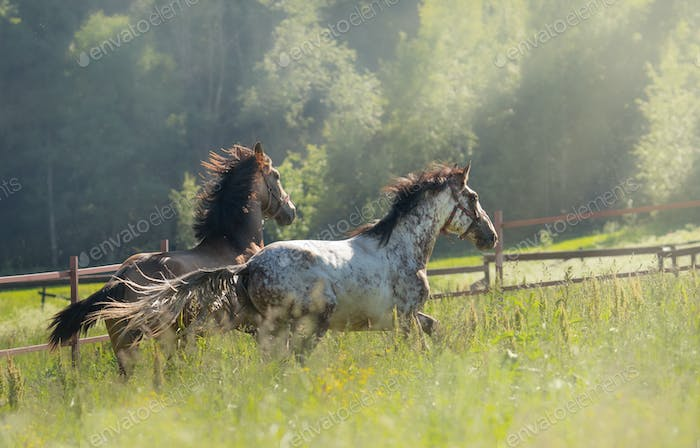 Herd of Spanish horses walks in field. Two stallions galloping on pasture.
