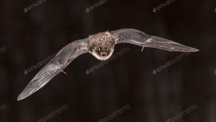 Flying bat on dark background