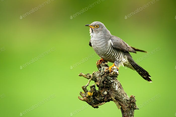 Common cuckoo sitting on tree in summer with copy space