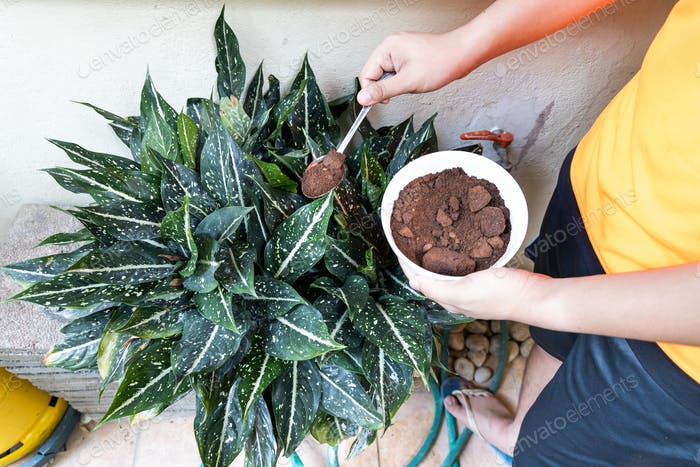 Person apply spent grounded coffee powder as natural plant fertilizer