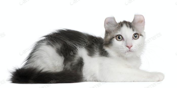 Kitten American Curl Cat