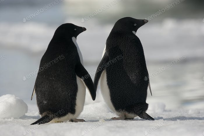 Adelie penguins standing side by side toucing flippers on Paulet Island, Antarctica