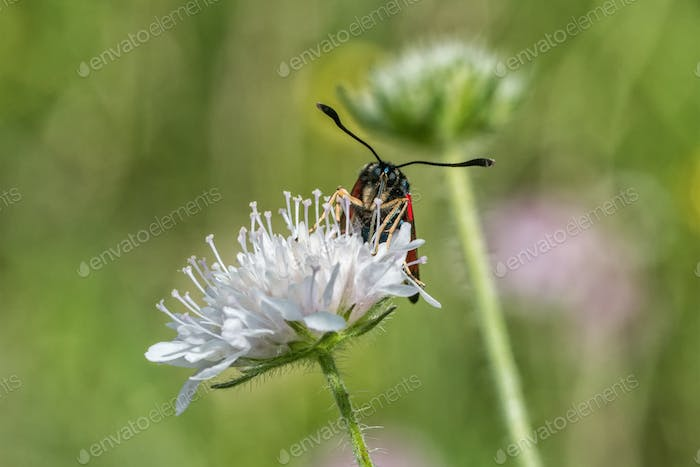 Burnet moth (Zygaena) sitting on a flower