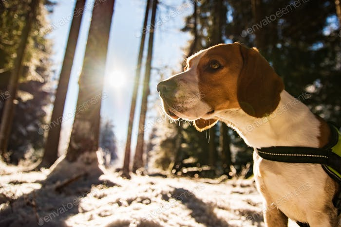 Beagle dog in snowy forest winter sun flare