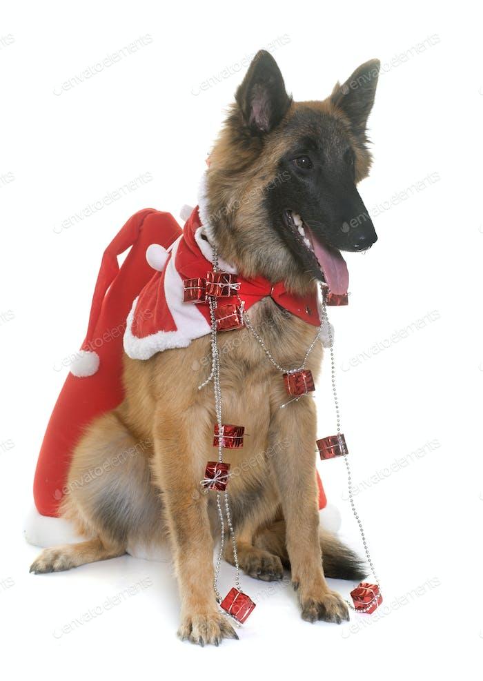 belgian shepherd tervuren and christmas