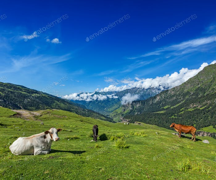 Cows grazing in Himalayas