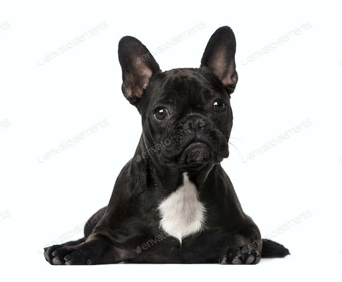 French Bulldog lying