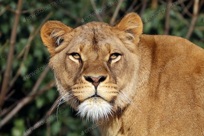 Lioness with a green background