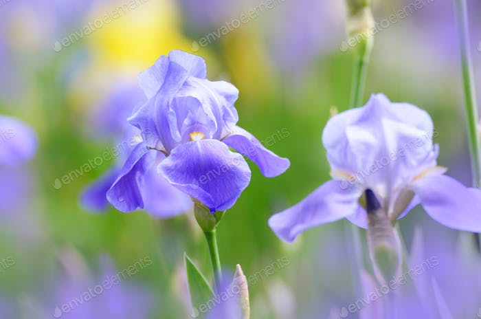 Violet Iris. Beautiful garden flower close up on green background