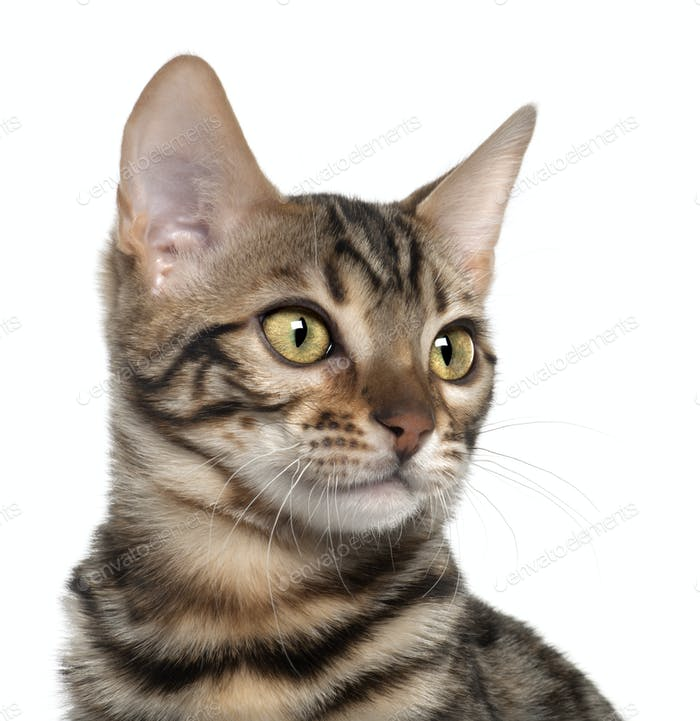 Close up of Bengal kitten, 4 months old, in front of white background