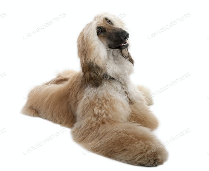 Brown Grommed Afghan Hound (7 years)