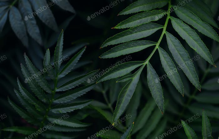 Background of a close-up view of the dark green leaves