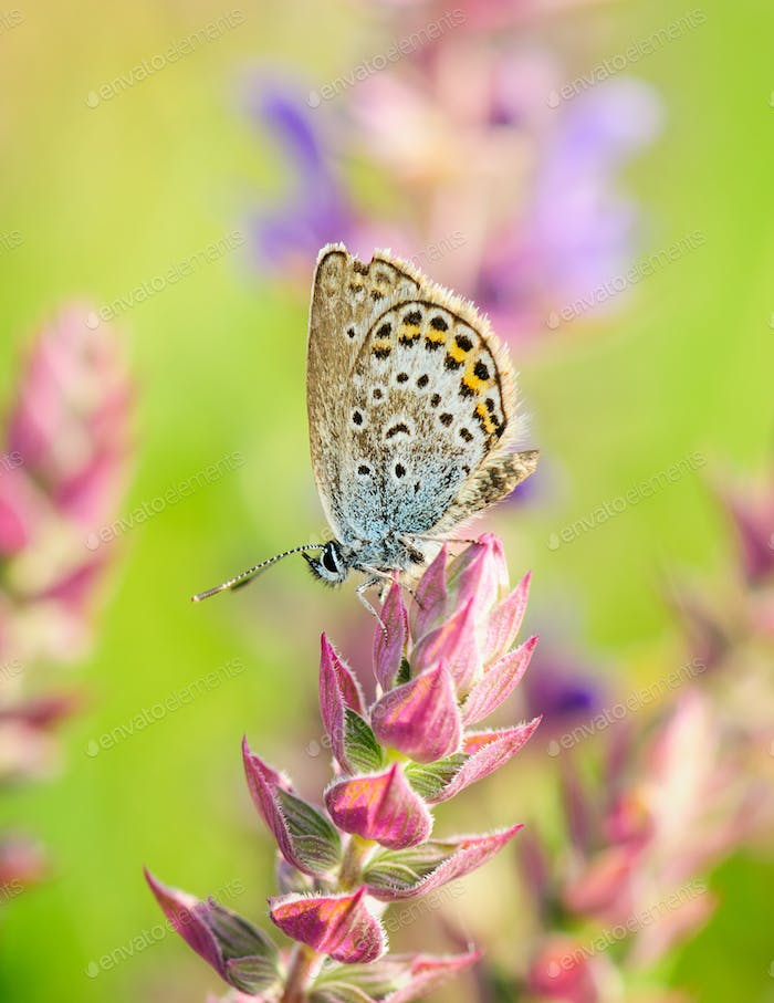 Polyommatus Icarus, Common Blue. Beautiful butterfly sitting on flower.