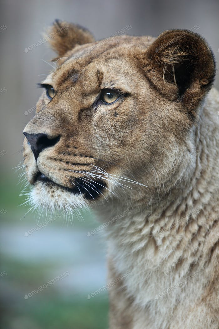 Thumbnail for Close-up portrait of a majestic lioness (Panthera Leo) in nature
