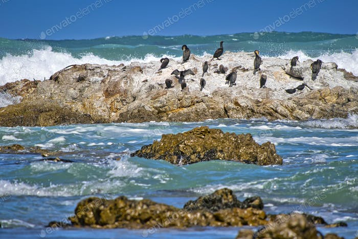 Cape Cormorant, Walker Bay Nature Reserve, South Africa