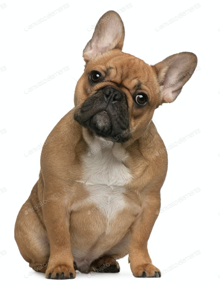 French Bulldog Puppy 5 Months Old Sitting In Front Of White Background Photo By Lifeonwhite On Envato Elements