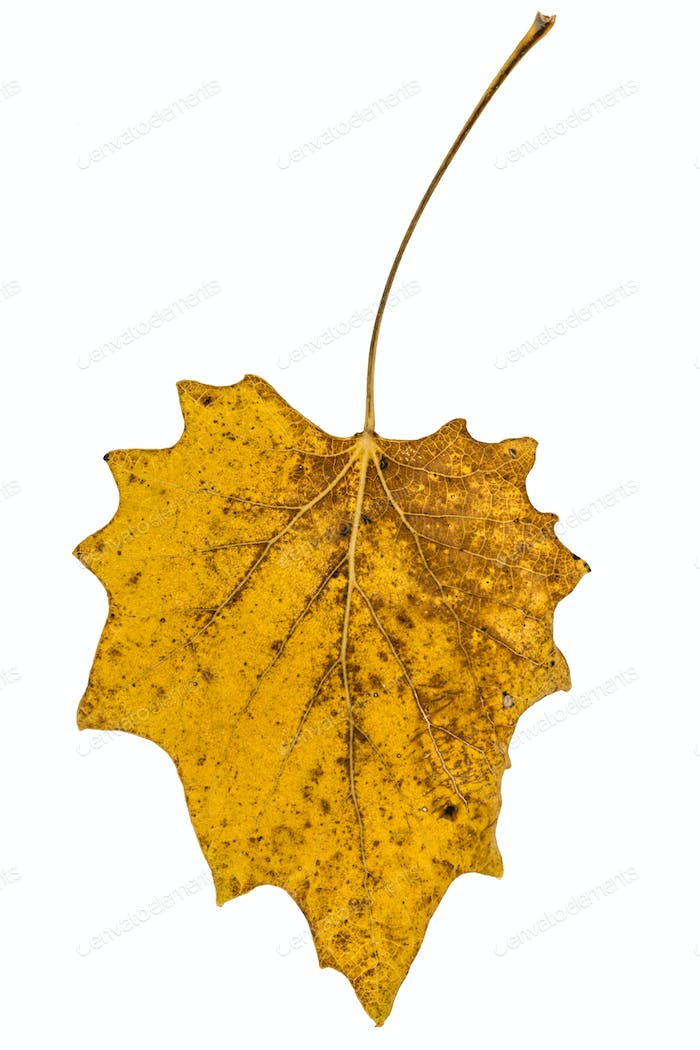 Yellow the fallen autumn leaf, isolated on white background