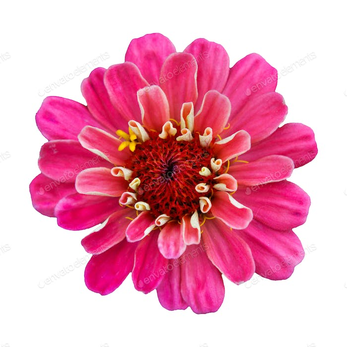 Beautiful pink flower zinnia isolated.