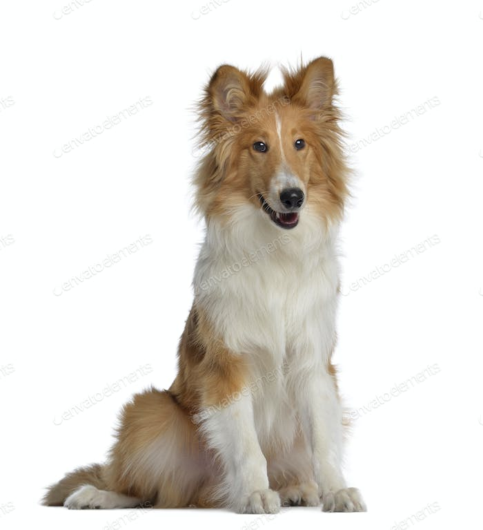 Scotch Collie, 7 months old, sitting, isolated on white