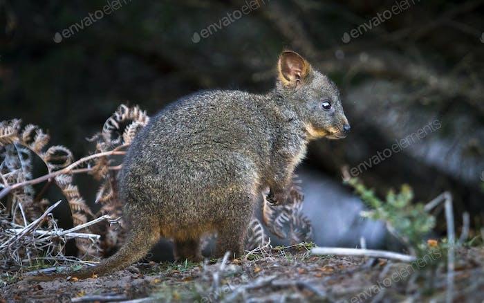 Baby Tasmanian Pademelon