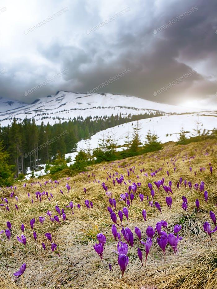 Blüte der Krokusse im Frühling in den Bergen