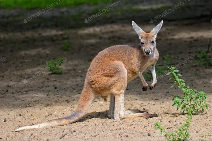 Kangaroo in the wild