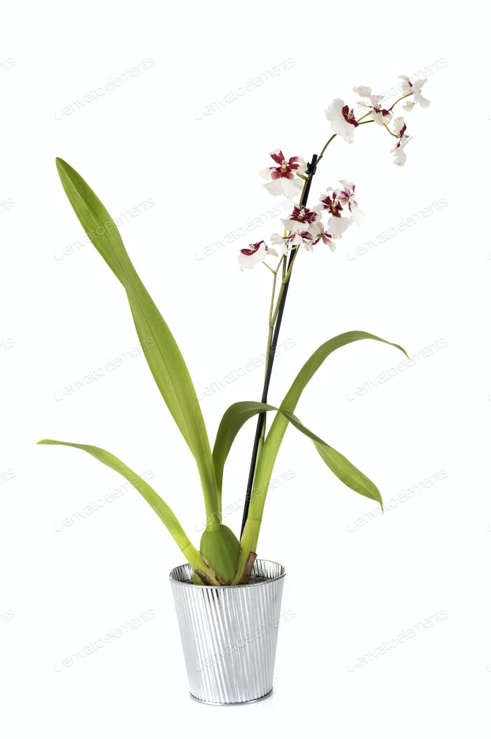 cymbidium orchid in studio