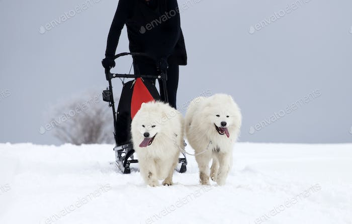 Sledding with spitz dogs in Romania
