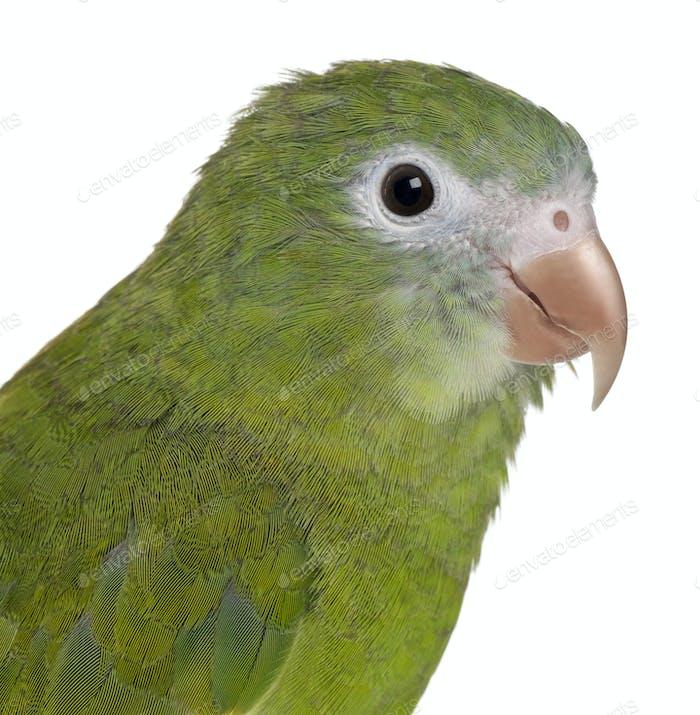 Close-up of White-winged Parakeet, Brotogeris versicolurus, 5 years old