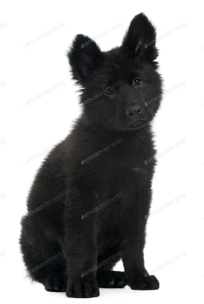German Shepherd Dog puppy, 10 weeks old, sitting in front of white background