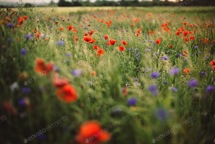 Poppy and cornflowers in sunset light in summer meadow