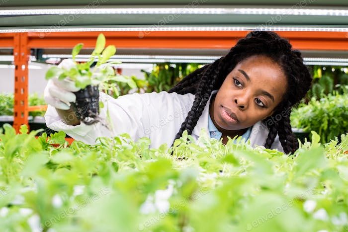 Young African female biologist taking green seedling from shelf in greenhouse