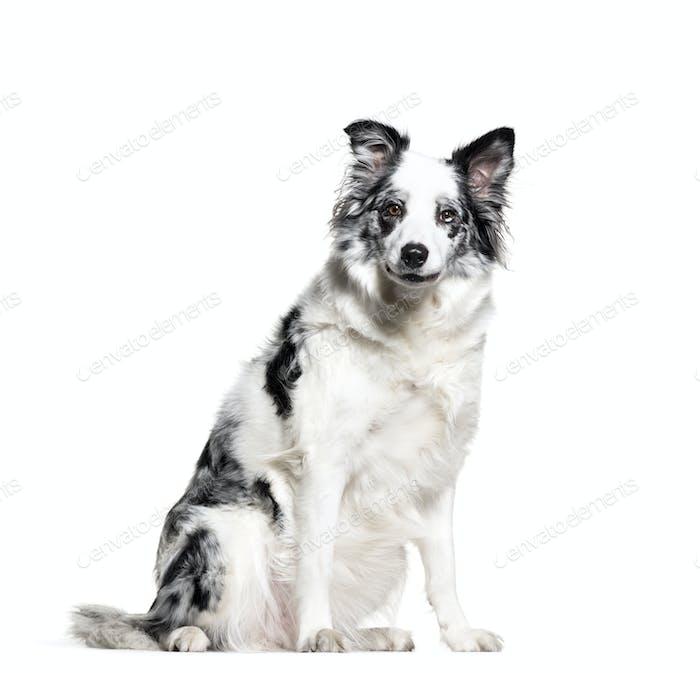 Border Collie, Dog, pet, studio photography, cut out