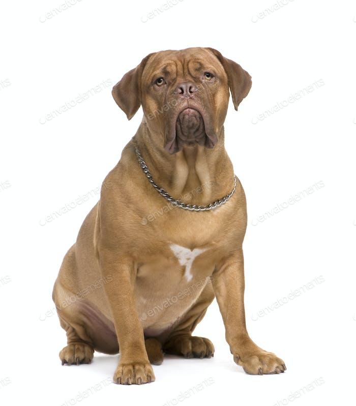 Dogue de Bordeaux (1,5 Jahre)